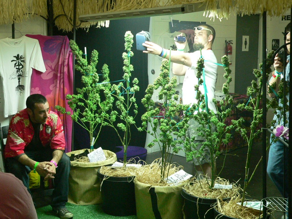 trimmed buds on the branch at The Cannabis Cup Denver 2012