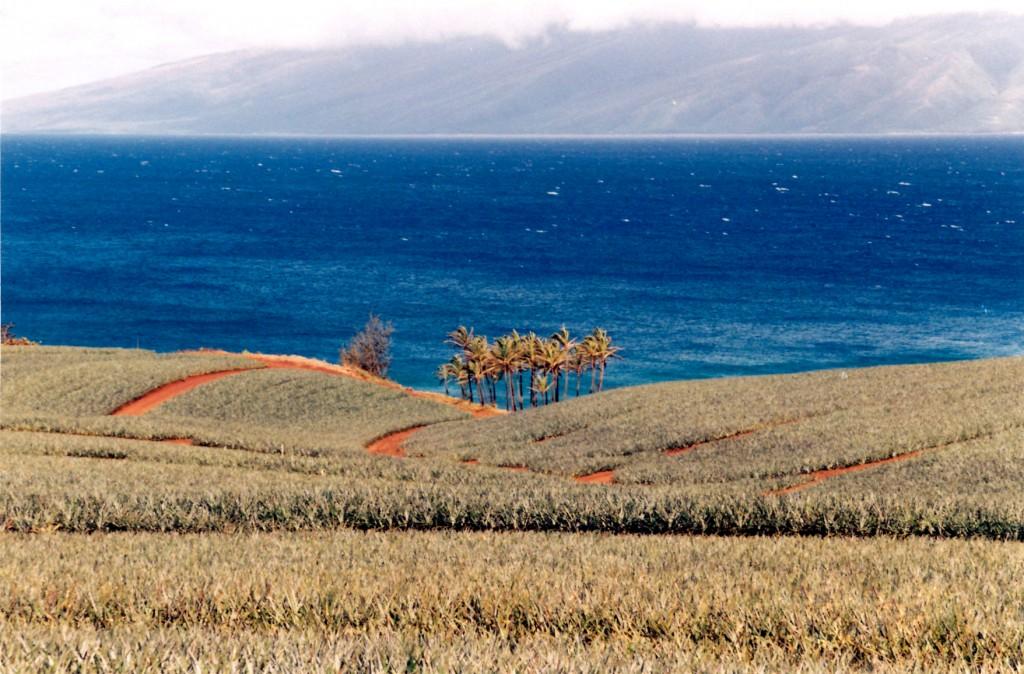 an idyllic photo of a Maui pineapple plantation