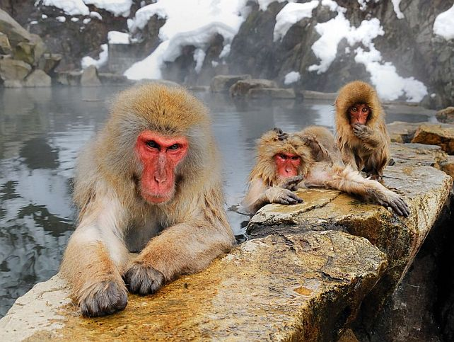 beautiful photo of japanese macaques at what looks like a hot spring