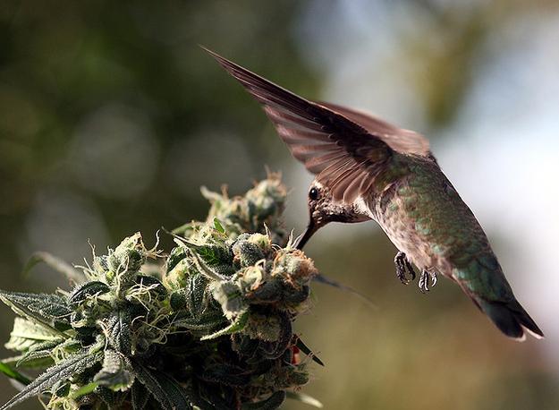 hummingbird feeding on marijuana flower