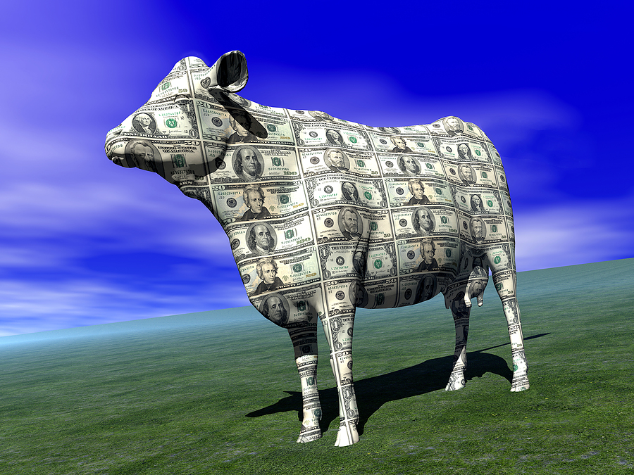 cash cow in idyllic field