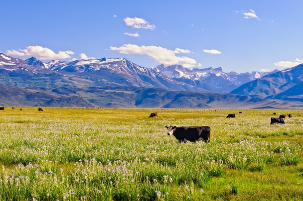 montana cows in an idyllic field